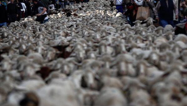 Madrid'de koyunlar şehre indi - Sputnik Türkiye