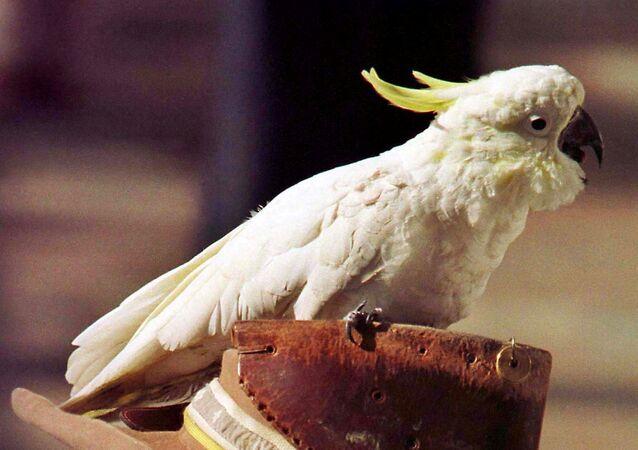 Avustralya tepeli papağan