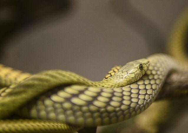 Evinde 40 çeşit yılan besliyor
