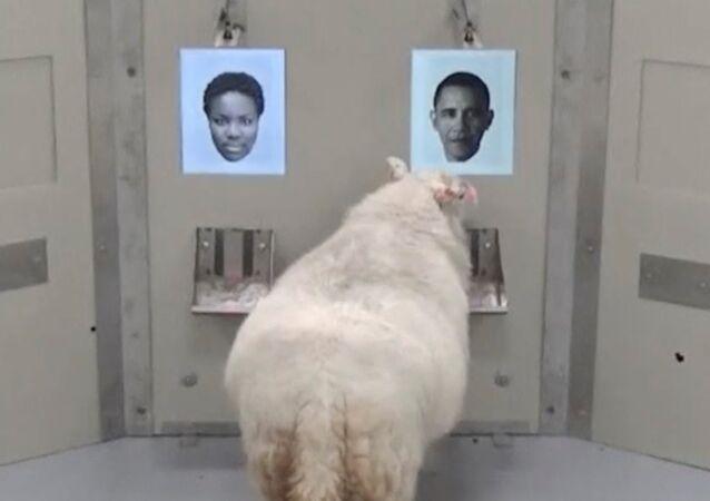 Koyunlar yüzleri tanıyabiliyor