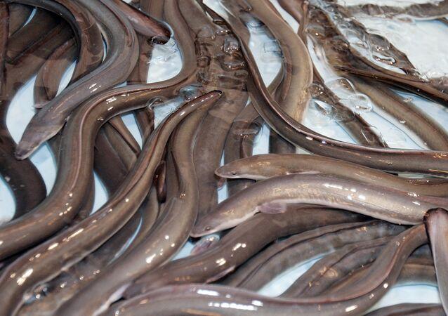 Yılan balığı