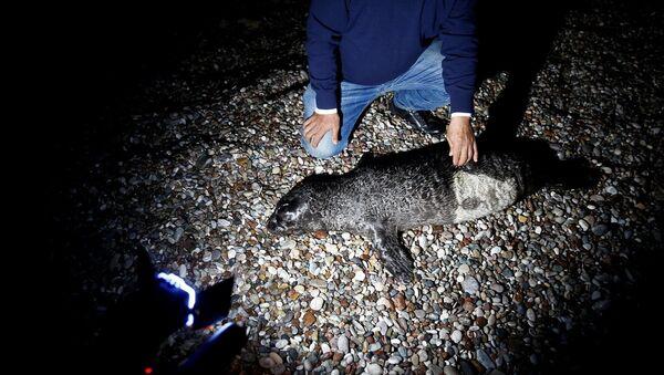 Ağa takılan yavru Akdeniz foku öldü - Sputnik Türkiye