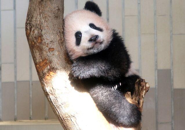 Panda yavrusu  Xiang Xiang