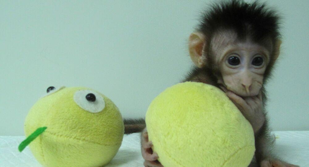 İlk klon primat olan makak maymunu