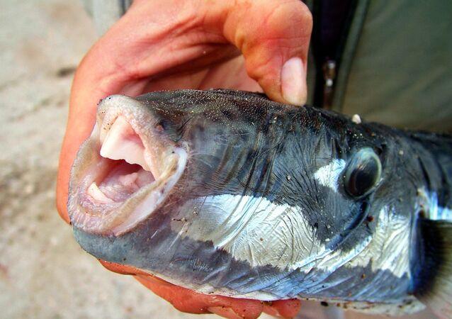 Ege'de balon balık alarmı