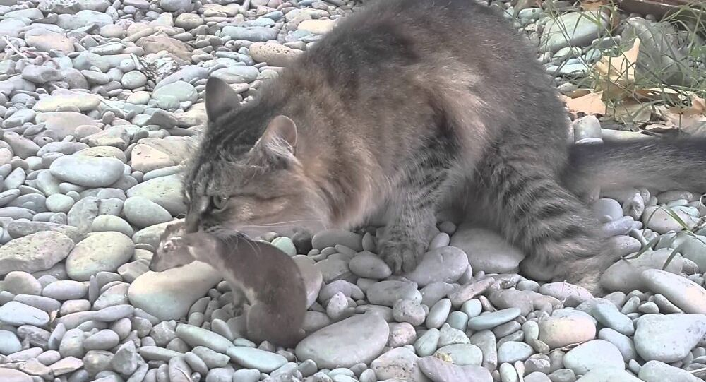kedi-gelincik