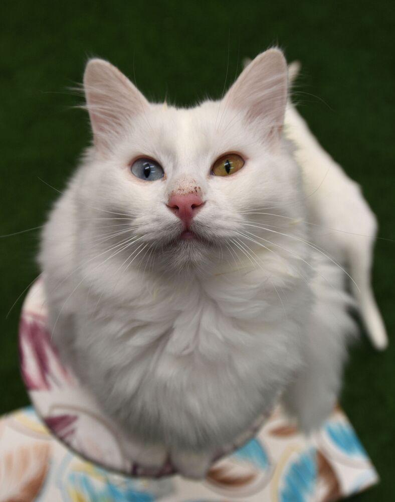 Yılın ilk yavru Van kedileri, dünyaya gözlerini açtı