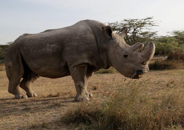 Dünyanın son erkek kuzey beyaz gergedanı 'Sudan' öldü