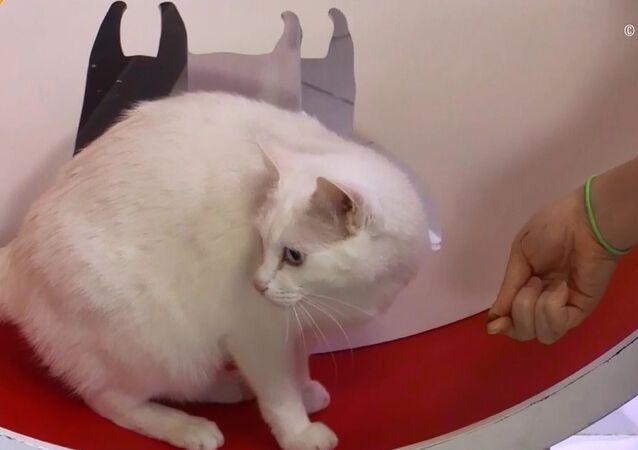 Kahin kedi Аşil Dünya Kupası için diyete girdi