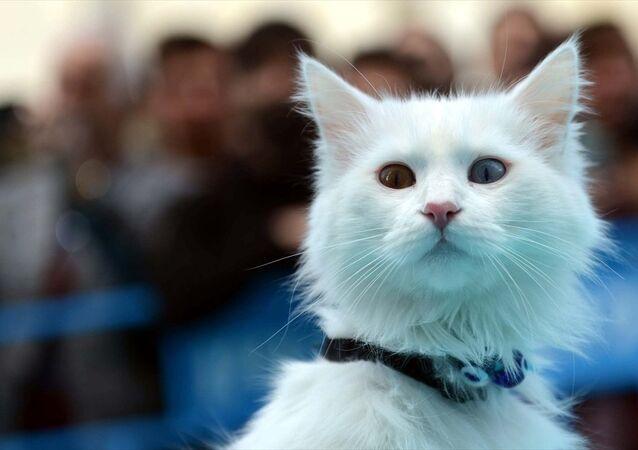 Van'da 3. Van Kedisi Güzellik Yarışması gerçekleştirildi