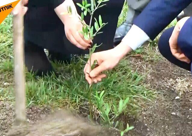 Lazkiye'de dostluk simgesi olarak Rusya'dan getirilen zeytin ağaçları dikildi