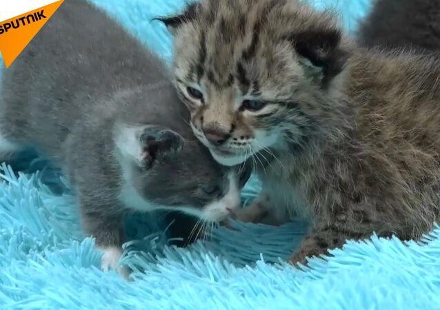 Rusya'da kedi yavru vaşağa annelik yaptı