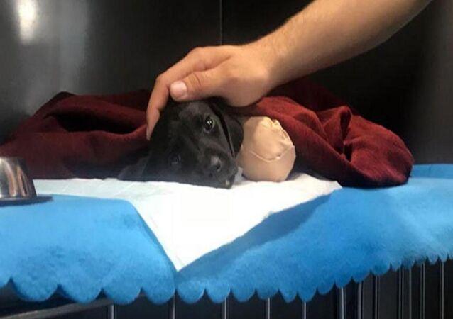 Sakarya'da uzuvları kesildikten sonra ölen yavru köpek
