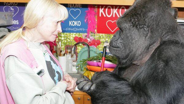 Goril Koko - Sputnik Türkiye