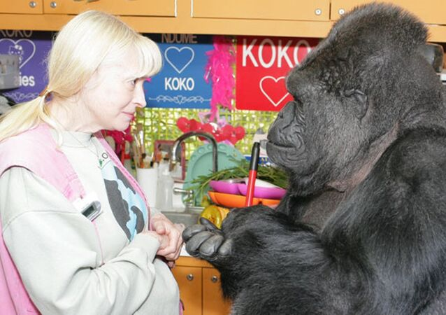 Goril Koko