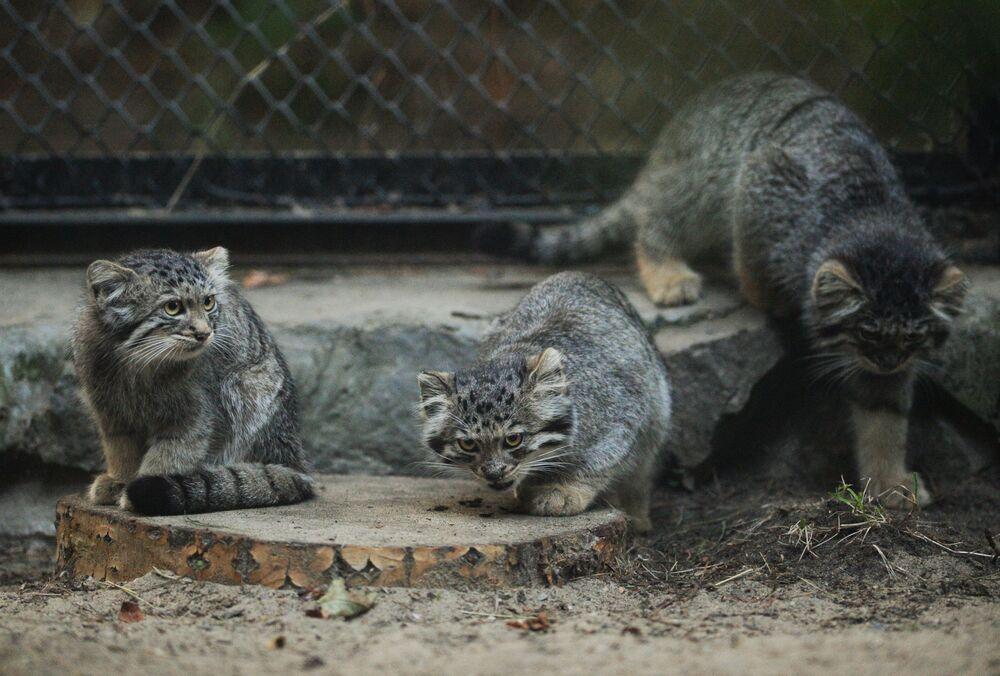 Novosibirsk hayvanat bahçesindeki manul yavruları