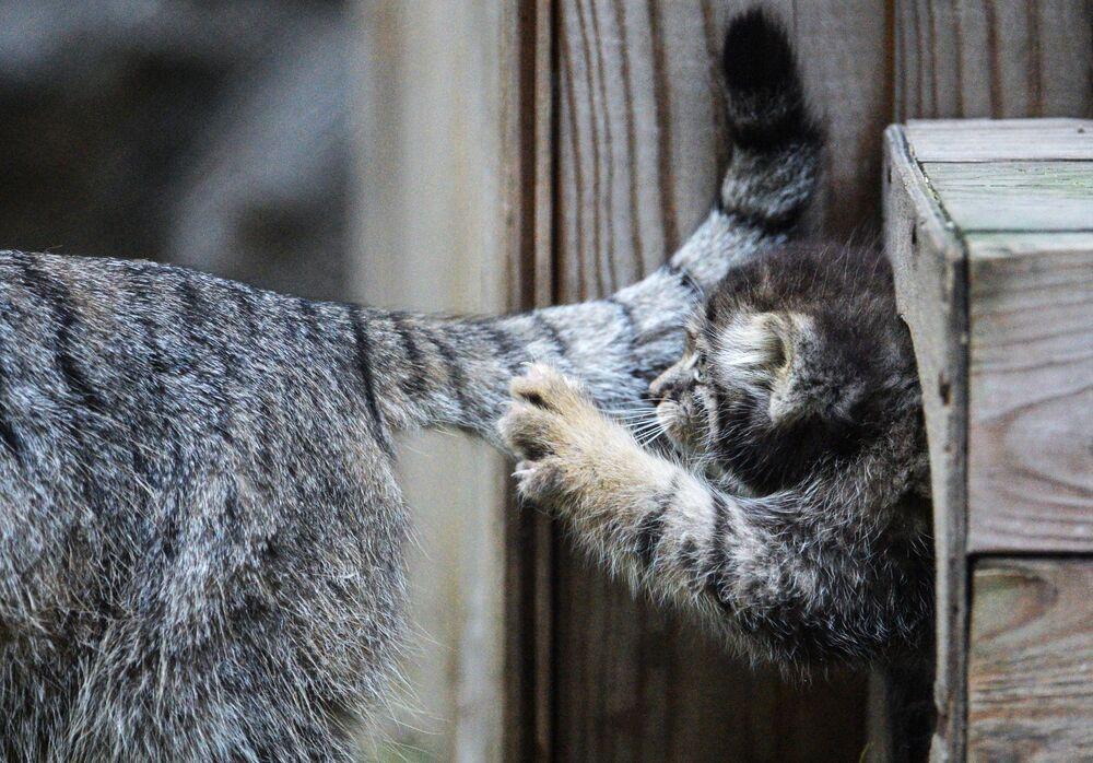 Novosibirsk hayvanat bahçesinin gözdeleri manul yavruları