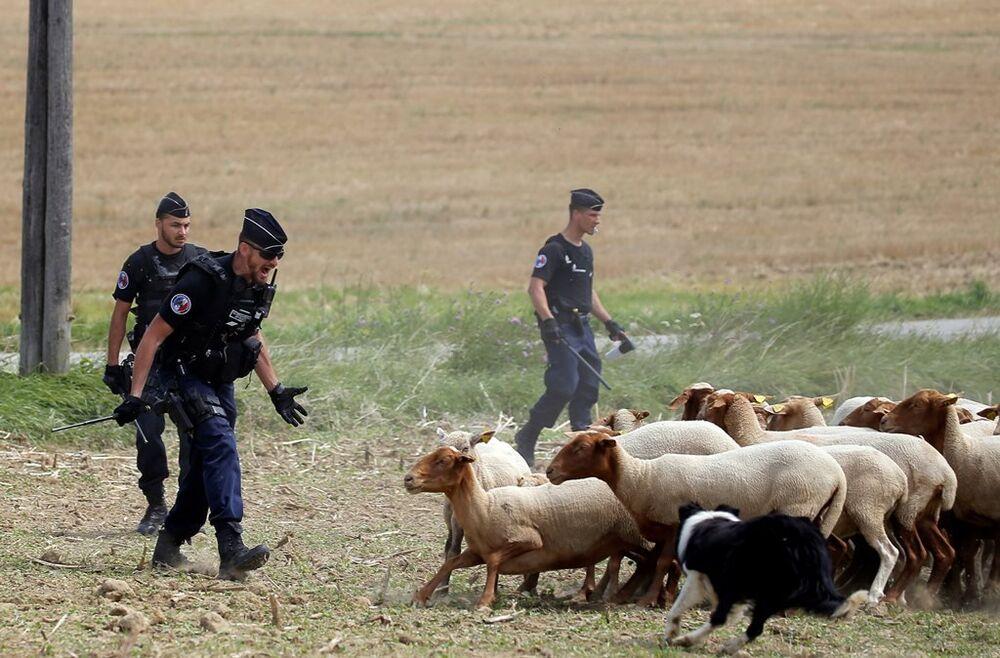 Eylemciler etkisiz hale getirildikten sonra polis bu kez de çiftçilerin getirdiği hayvanları kovalayarak yolları boşaltmaya çalıştı.
