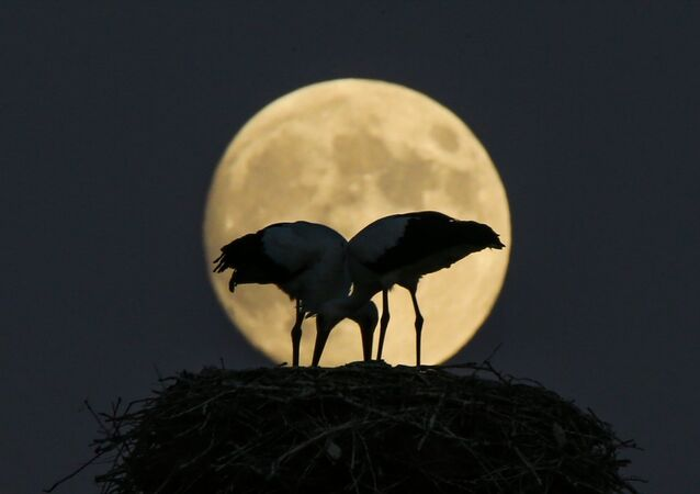 Yüzyılın en uzun Ay tutulması öncesi Van Gölü kenarında yuva yapan leyleklerin görüntüleri kameralara yansıdı.