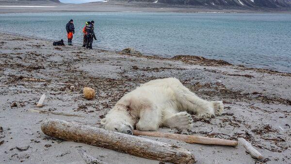 Kutup ayısı - Sputnik Türkiye