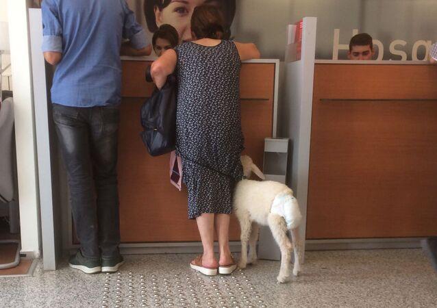 Bankaya kuzusuyla geldi