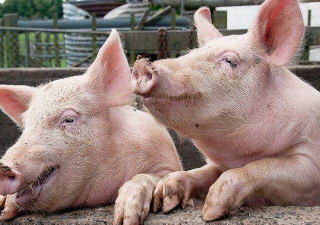 bir çift domuz