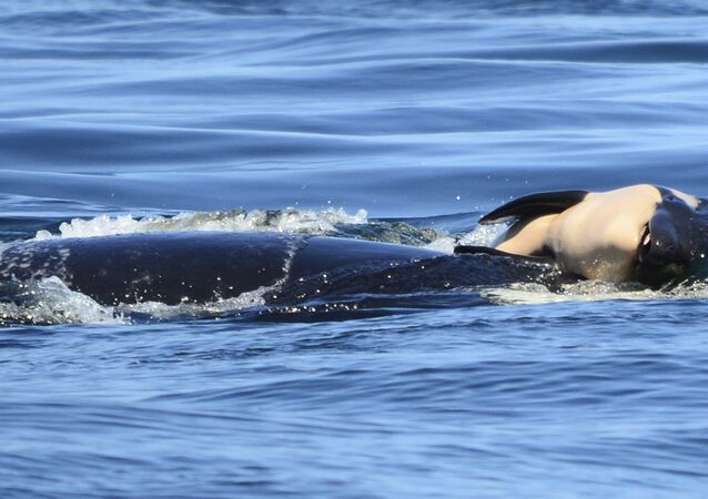 Ölü yavrusunu 2 hafta boyunca taşıyan katil balina 'Tahlequah'