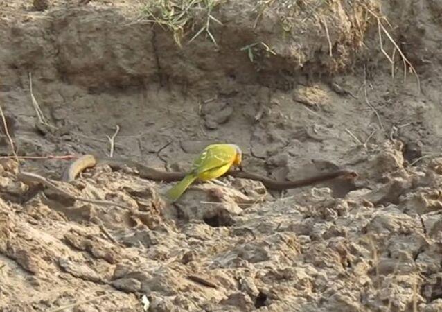 Küçük kuş, zehirli yılanı önce avladı sonrada yedi