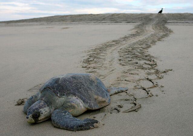 Nesli tükenme tehlikesiyle karşı karşıya olan zeytin renkli kaplumbağa