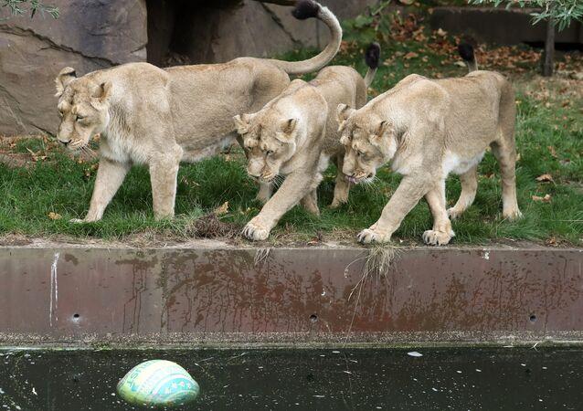 Dişi aslanlar