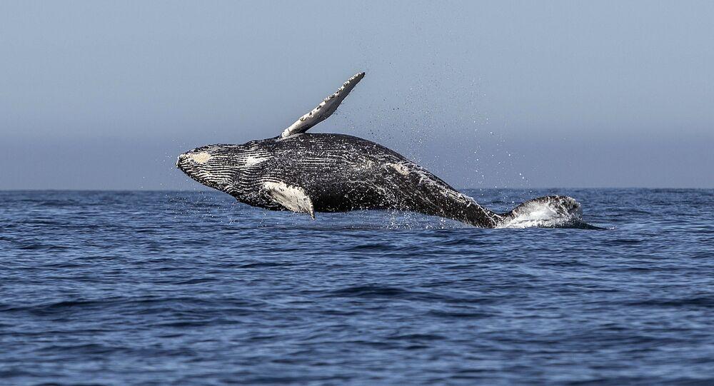 Pasifik Okyanusu'nda yüzen bir kambur balina