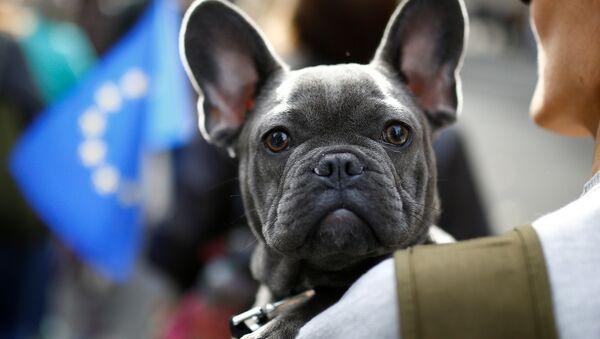 Bulldoglar, haskiler, boxerlar, beaglelar... Her cinsten yaklaşık 1000 köpek ve sahipleri Londra'da parlamento binasına yürüdü. İngilizce havlamak anlamına gelen 'woof' fiiliyle 'referandum' sözcüğünün bileştirilmesiyle oluşturulan 'Wooferendum' (Ya da Türkçesiyle 'Havhavarandum') adlı kampanyaya destek veren ve Brexit'e karşı çıkan eylemciler bu konuda ikinci bir referandum yapılmasını istedi. - Sputnik Türkiye