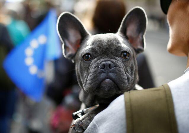 Bulldoglar, haskiler, boxerlar, beaglelar... Her cinsten yaklaşık 1000 köpek ve sahipleri Londra'da parlamento binasına yürüdü. İngilizce havlamak anlamına gelen 'woof' fiiliyle 'referandum' sözcüğünün bileştirilmesiyle oluşturulan 'Wooferendum' (Ya da Türkçesiyle 'Havhavarandum') adlı kampanyaya destek veren ve Brexit'e karşı çıkan eylemciler bu konuda ikinci bir referandum yapılmasını istedi.