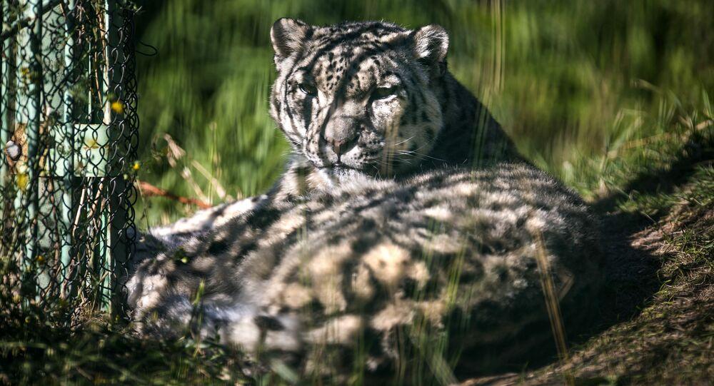Uluslararası Kar Leoparı Günü
