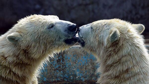 Kutup ayıları - Sputnik Türkiye