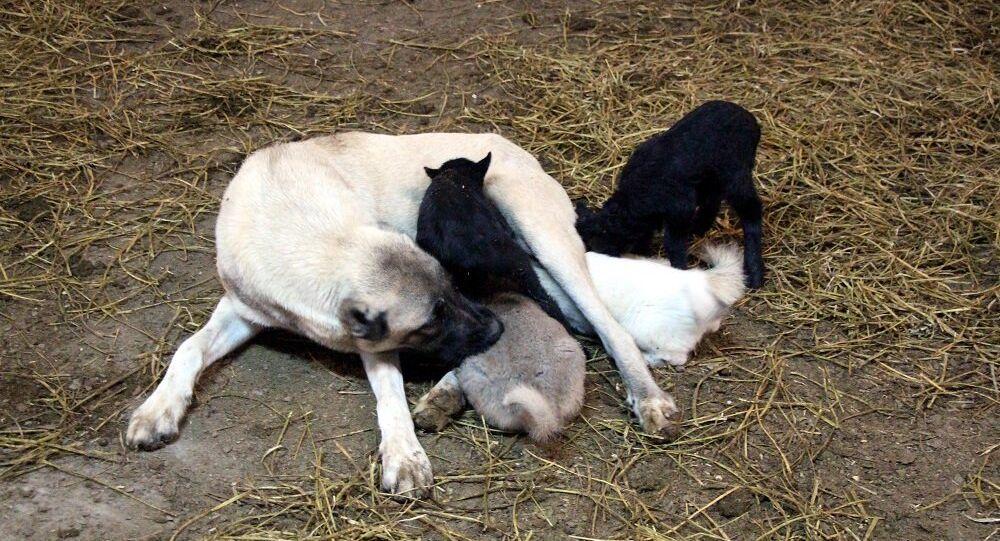 Kangal köpeği, kuzulara annelik yapıyor