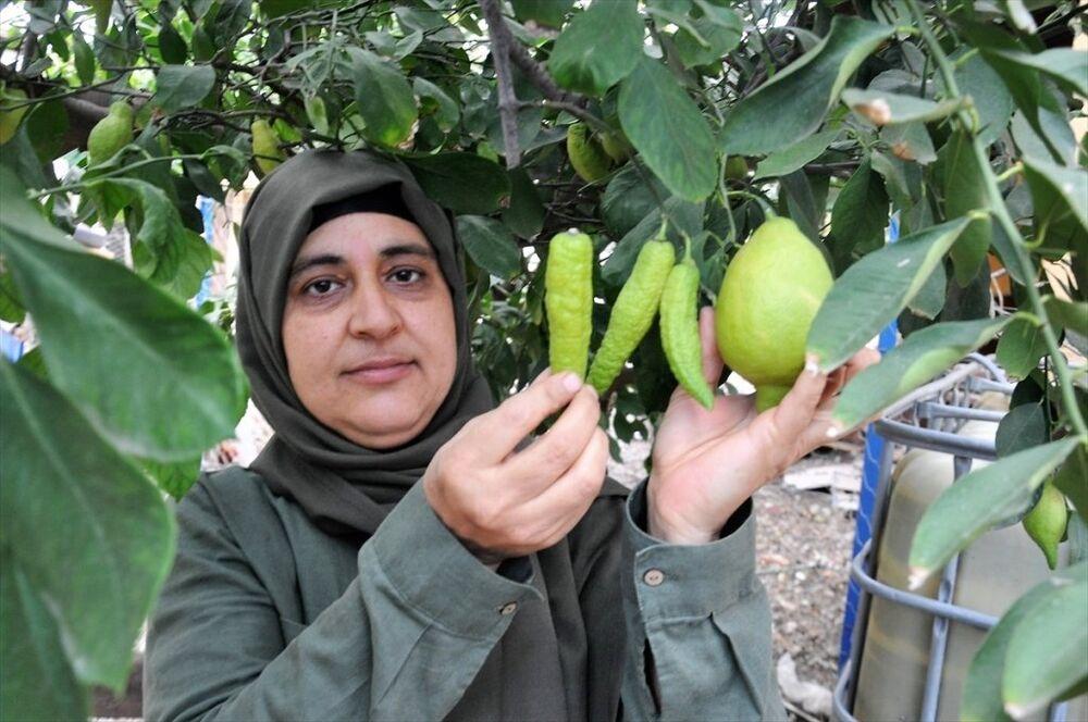 Hatay'ın Dörtyol ilçesinde limon ağacındaki bibere benzeyen limonlar