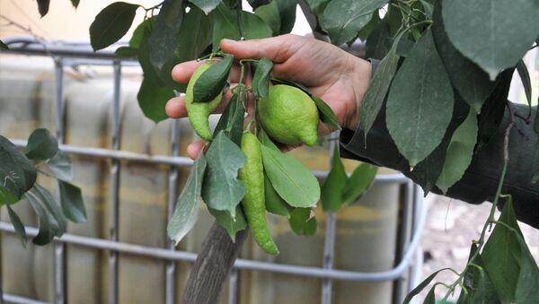 Hatay'ın Dörtyol ilçesinde limon ağacındaki bibere benzeyen limonlar - Sputnik Türkiye