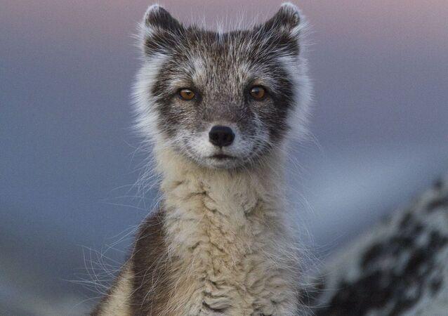 Снимок Polar fox in evening light фотографа Carla Rivas, победивший в категории Youth конкурса Nature Photographer of The Year 2018