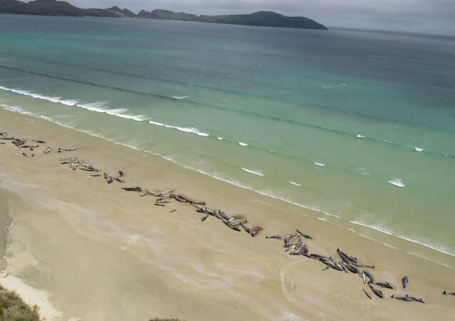 Yeni Zelanda'da kıyıya vuran 150'ye yakın balina öldü