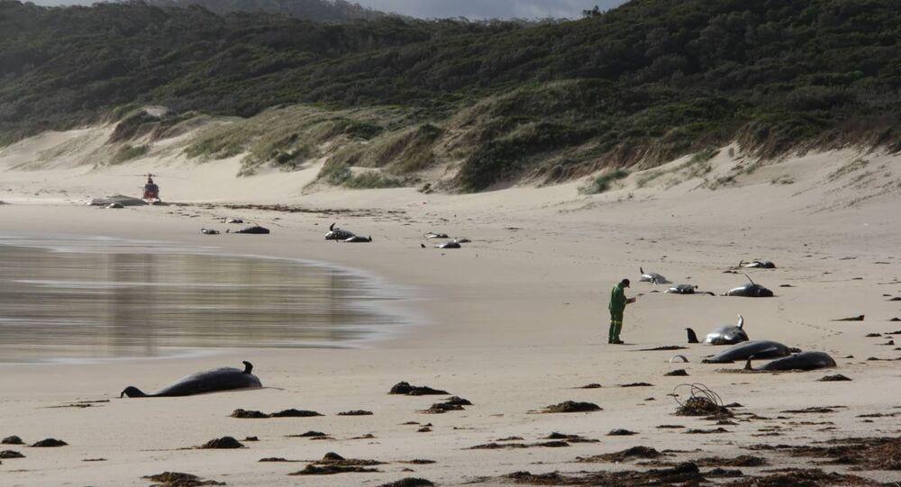 Avustralya'da çok sayıda baline kıyıya vurdu