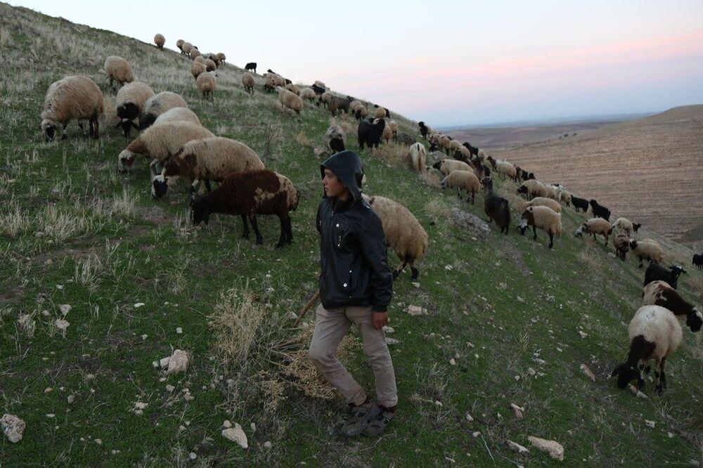 Yaklaşık 100 koyun ve keçiden oluşan bir sürüye bakan 13 yaşındaki Mervan