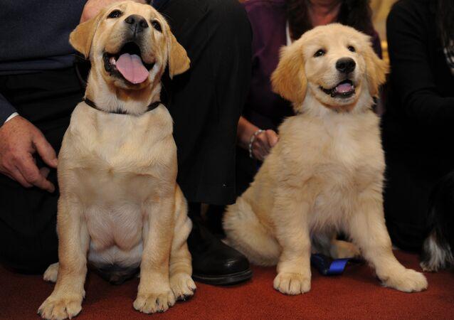 Golden Retriever cinşi köpek