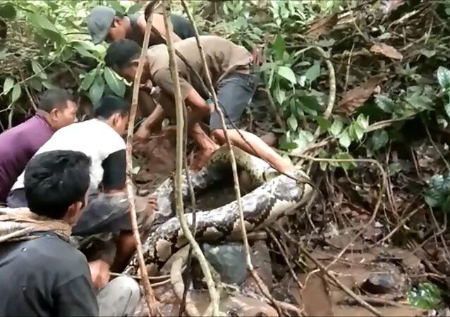 Endonezyalıların dev piton ile imtihanı