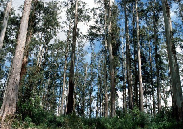 Dünyanın en yüksek geniş yapraklı ağacının Tasmanya'da yetiştiği belirlendi