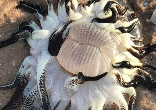 Avustralya'da bulunan deniz canlısı