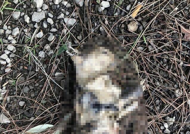 Çanakkale'nin Lapseki ilçesinde, patileri kesilmiş ve yakılarak öldürülmüş kedi bulundu. Yapılan incelemede kedinin bir gün önce telef olduğu tespit edildi.