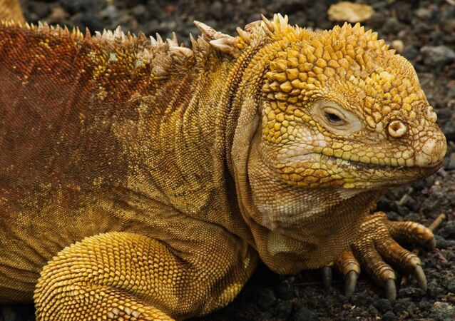 Galapagos kara iguanası