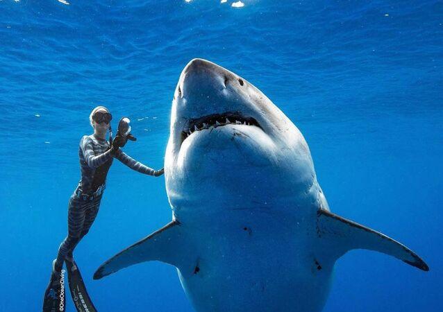 Dünyanın en iri büyük beyaz köpek balığı