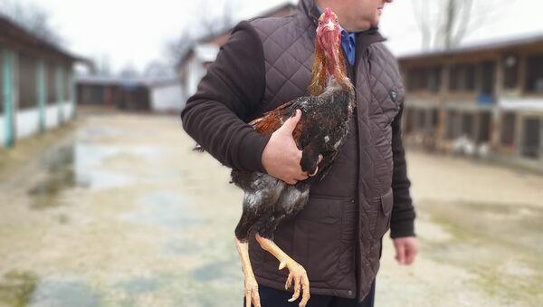 1 metre tavuk - Sputnik Türkiye